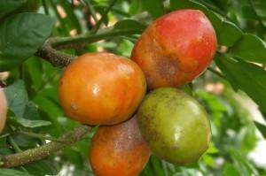 Arbol lleno de frutas