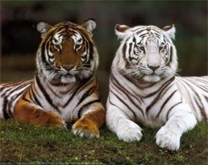 dos tigres