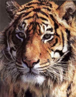 buod ng tigre tigre Buod ng tigre - teresa's blog exblogjp buod ng tigre tigre ni mochtar lubis 2012 09 25 maikling kwento questions including kasaysyan ng maikling kwento blog.