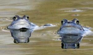 Dos ranas nadando en un estanco