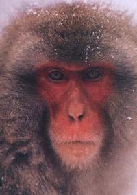 Mono japonés