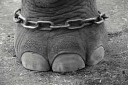 Elefante atado