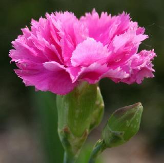 Clavel floreciendo