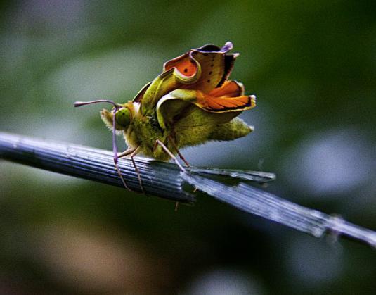 Mariposa recien salida