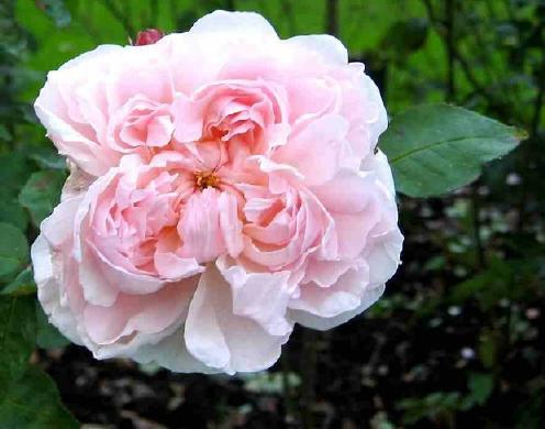 Fragancia rosa
