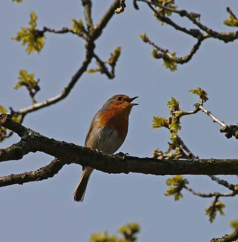 Pájaro cantando